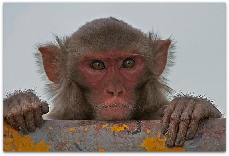 Rhesus Macaque-001