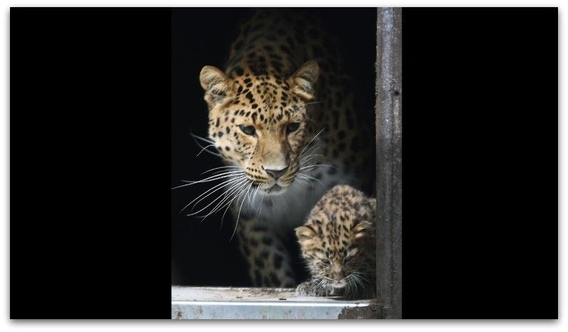 Амур леопард1-001
