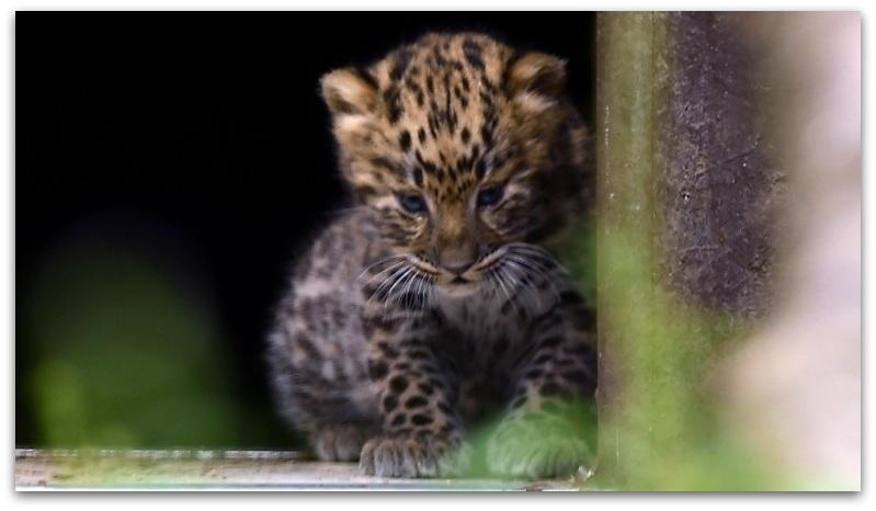 Амур леопард3-001